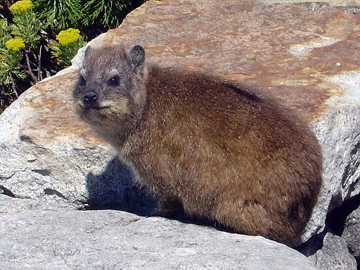 Dassie (Cape Hyrax) photgraphed on Table Mountain, Cape Town in November 2004 by Andreas Tusche. The photo was taken on the rocks near the upper cable car station.